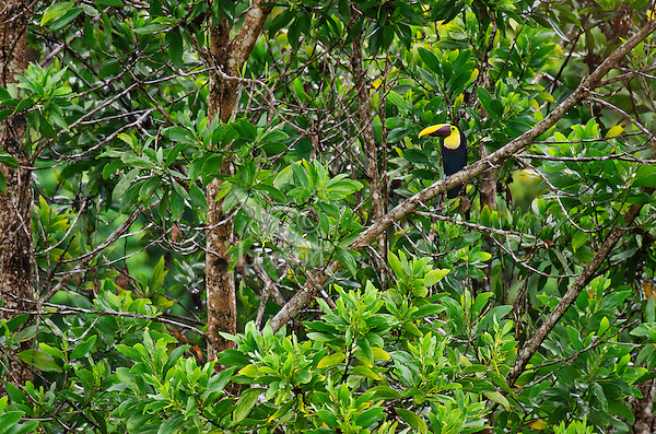 Chestnut-mandibled Toucan, or Swainson's Toucan (Ramphastos swainsonii or Ramphastos ambiguus swainsonii).  Found from Honduras south through Central America into northern South America.  These photos are from Costa Rica.
