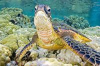 """Green Sea turtle, Hawaii, Chelonia mydas, """"Honu"""" , Kona Coast, Big Island, Hawaii, USA, Pacific Ocean"""