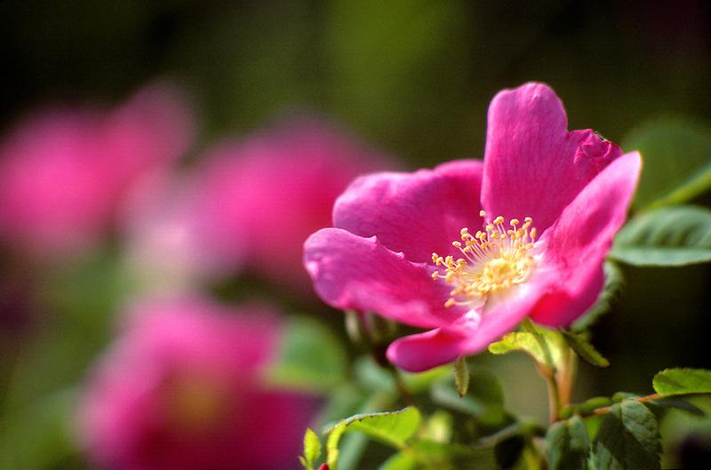 V00061.tif   Wild rose (rosa nutkana). Near Alpine, Oregon