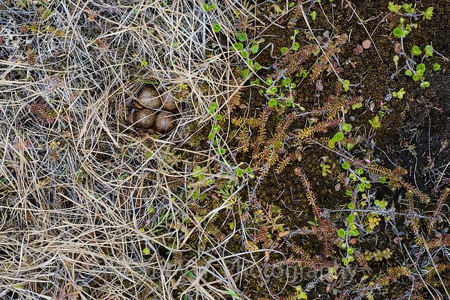 Least Sandpiper (Calidris minutilla) nest and eggs. Yukon Delta National Wildlife Refuge. May.