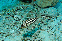 Sixline soapfish, Grammistes sexlineatus, Amami-ohsima island, Kagoshima, Japan, Pacific Ocean