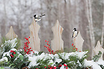 Black-capped chickadees on a festive backyard fence