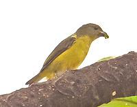 Gray-Headed Tanager