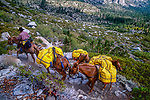 Cowboy leading a string of pack mules in the Big Arroyo on the west side of the Sierra Nevada, Sequoia National Park, California
