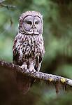 Great grey owl, Oregon
