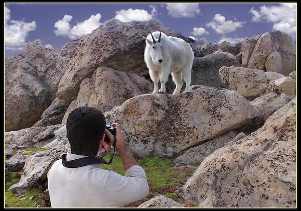 Wildlife photographer and Mountain Goat on Mt Evans, Colorado.<br /> John leads private, wildlife photo tours throughout Colorado. Year-round.