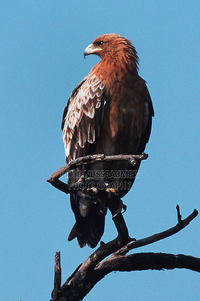 Greater Spotted Eagle (Aquila clanga), immature perched, Ranthambore National Park,India