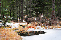 Montana mule deer pausing to take a drink in a winter landscape