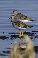 Pair of Lesser Yellowlegs standing in a marsh