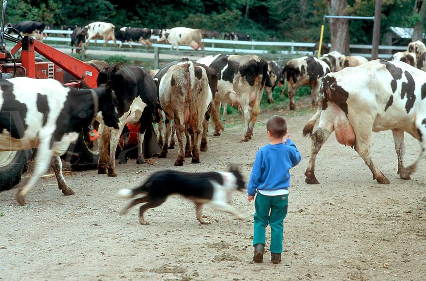 Herding Cows in Esses VT