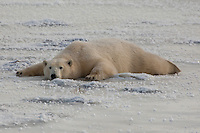 Polar bear sprawled on ice to cool off, Seal River, Manitoba, Canada