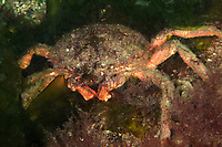 Greater spider crab in Brittany . Greater spider crab in Brittany, spiny spider crab, Maja squinado, Belle Ile en Mer, island, Brittany, France, West Europe coast, atlantic ocean