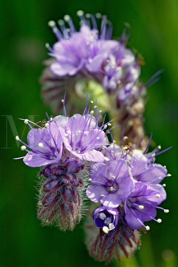 Lace-leaf or Fat-leaf Phacelia (Phacelia distans) in the Antelope Valley near Lancaster, California.