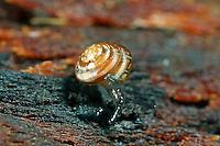 Helles Kegelchen, Euconulus fulvus, Euconulus trochiformis, Brown Hive Snail, Tawny Glass Snail