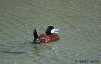 0825-0902  Male Ruddy Duck, Oxyura jamaicensis © David Kuhn/Dwight Kuhn Photography