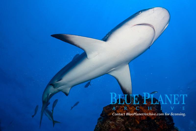 Caribbean reef shark, Carcharhinus perezii, Little Bahama Bank, Bahamas, Caribbean, Atlantic