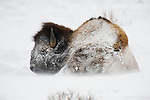 A snow-covered bison rests in the drifting snow in Yellowstone National Park, Wyoming.