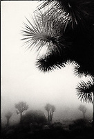 Silhouetted Yucca plant in the fog<br />