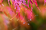 Spider Web in Red Laceleaf Maple, Japanese Maple.  Private garden professionally landscaped.