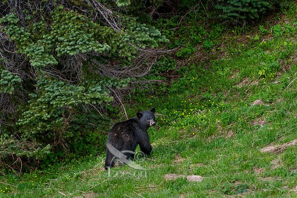 Black Bear (Ursus americanus) in subalpine meadow.  Olympic National Park, WA, summer.