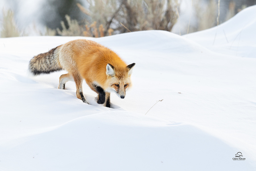 Red Fox (Vulpes vulpes) descends a hill in search of food. No luck this time for the fox, but its superb adaptations will ensure it will not go hungry this winter.