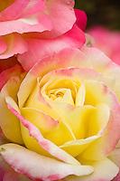 Fragrant hybrid tea yellow blend rose flower, Rosa 'French Perfume'