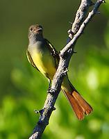 Juvenile graet crested flycatcher