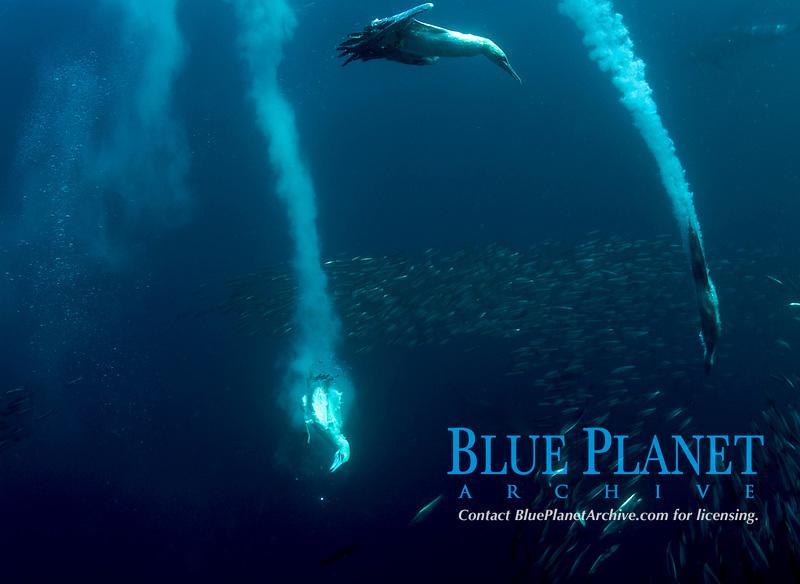 (Multiple values)South Africa, Wild coast, Gannets feeding on sardines