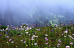 Medly of wildflowers on Hurricane Ridge, Olympic National Park. View into Elwa River Valley.  Asters, anemone, beargrass, lupine, columbia (tiger) lilies, red paintbrush.