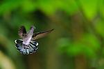 Jacobino Nuquiblanco (hembra) / colibríes de Panamá.<br /> <br /> White-necked Jacobin (female) / hummingbirds of Panama.<br /> <br /> Florisuga mellivora.<br /> <br /> Edición de 25 | Víctor Santamaría.