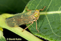 "1109-0805  Agallia Leafhopper, Agallia spp. ""Virginia"" © David Kuhn/Dwight Kuhn Photography."