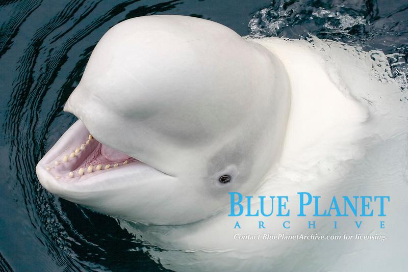 Friendly Beluga, beluga whale, Delphinapterus leucas, Vancouver, Canada, note teeth, (c)