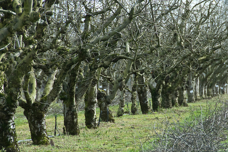 Orchard of mature apple trees, RHS Wisley Fruit Field, February.