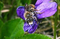 Zweifarbige Schneckenhaus-Mauerbiene, Zweifarbige Schneckenhausbiene, Zweifarbige Mauerbiene, Osmia bicolor, Mauerbienen, Mason bee, Mason bees