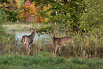 White-tailed bucks in autumn
