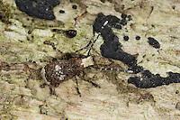 Großer Breitrüssler, Weißfleckiger Maulkäfer, Schildlaus-Breitrüssler, Langfühler-Breitrüssler, Bürstenkäfer, Anthribus albinus, Platystomos albinus, Fungus weevil, Breitrüssler, Anthribidae, fungus weevils