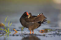 Common Moorhen (Gallinula chloropus), adult preening, Sinton, Corpus Christi, Coastal Bend, Texas, USA