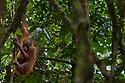 Bornean Orang-utan adult female (Pongo pygmaeus wurmbii), Danum Valley, Sabah, Borneo. June.