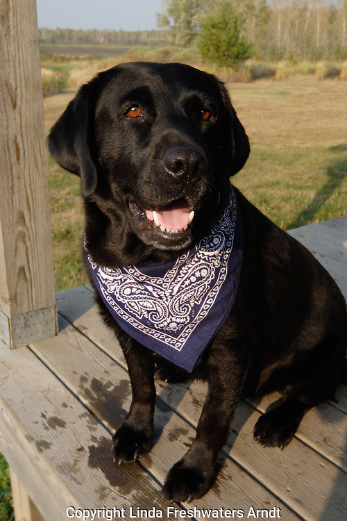 Black Labrador retriever (AKC) sitting on a porch wearing a bandanna.  Winter, WI.
