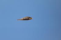 527950043 a wild federally endangered juvenile peregrine falcon falco peregrinus soars over a cliff face along the pacific ocean at torrey pines state preserve la jolla california