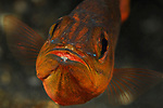 Cardinalfish with Eggs, Lembeh Straits, Sulawesi Sea, Indonesia, Amazing Underwater Photography