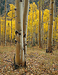 San Isabel National Forest, CO<br /> Wet Aspen (Populus tremuloides) grove with fall foliage in Clear Creek Canyon