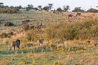 Tanzania. Serengeti. Male and Female Lion Walking Stealthily toward a Herd of Impalas, Early Morning.