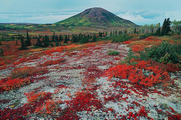 Landscape with fall colored Bearberry (Arctostaphylos sp.), Denali Highway, Alaska, USA
