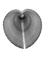 Xray Heart cockle shell