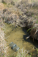 Trap used for removal of crayfish, Procambarus sp, in habitat of Amargosa toad and speckled dace.  Amargosa River, Oasis Valley, near Beatty, Nevada