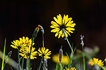 Hawkweed flowers (Hieracium sp.) in ancient alpine meadow (at 1600m elevation). Nordtirol, Austrian Alps. June.