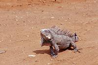 Green leguan, green iguana, Iguana iguana, Netherland Antilles, Caribbean, Atlantic, Bonaire, Bonaire, Washington, USA Slagbaai National Park, Pos Mangel