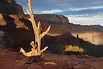 old weathered tree along the south kaibab trail in the grand canyon