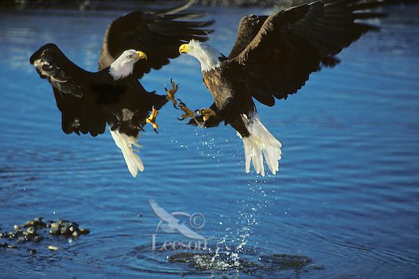 Bald eagles fighting (Haliaeetus leucocephalus) over spawned out salmon on Northwest river.  November.